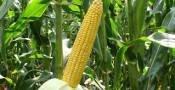 Семена кукурузы  Amelior/ Амеліор
