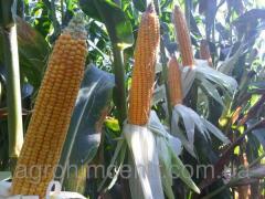 Семена кукурузы Mas 37.V/ Мас 37.В