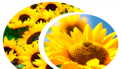 Sunflower hybrid of ES of the AMIS / the EU Am_s