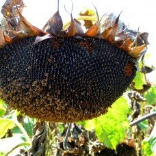 Seeds of sunflower of NS-6343 * Standard