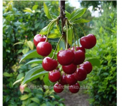 Cherry grade Lyubskaya.