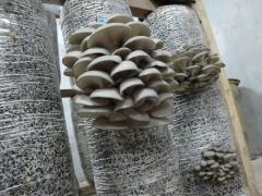 Блоки грибные вешенки