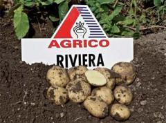 Семенной картофель продам