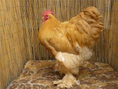 Куры Кохинхин палевый, яйца инкубационные, цыплята