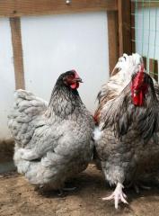 Куры Голубой орпингтон, цыплята суточные,