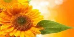 Семена подсолнечника  LEILA /Лейла