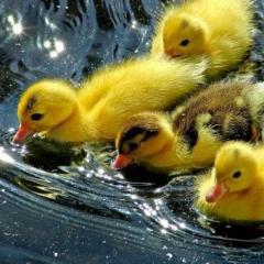 Цыплята, бройлеры, утка, гуси, индык