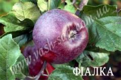 Яблоня фиалка