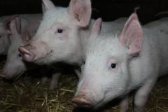Свежая свинина с домашней фермы оптом