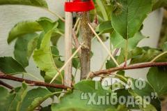 Саженцы яблони м9 районированных и перспективных