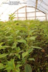 Cherry rootstock AFL-2, resistant to dense,