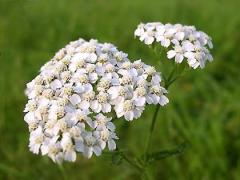 The yarrow is ordinary, a grass