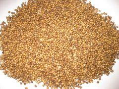 Coriander, Dutch grade Elite, seeds