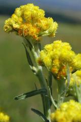 Immortelle sandy, flowers