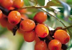 Sea-buckthorn krushinovidny, fruits