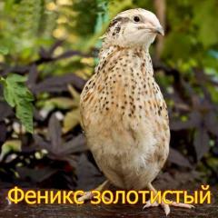 Инкубационные яйца перепела породы  - Феникс золотистый (мясная).
