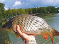 Рыба речная карп