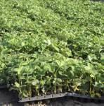 Strawberry saplings in cartridges