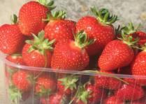 Свежие ягоды клубники ранних сортов