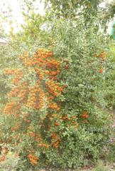 Пираканта ярко-красная  Pyracantha cocinea