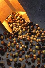 Seeds of bean cultures, expor