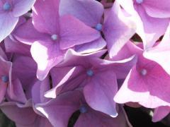 Bigleaf hydrangea blue Hydrangea macrophylla blue