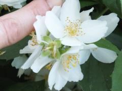 Чубушник венечный ,крупноцветковый  Philadelphus