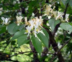 Жимолость обыкновенная  Lonicera xylosteum