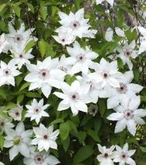 """Clematis of Patens of """"Ms."""