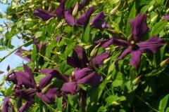 """Zhakman's clematis """"Black woman"""" of"""