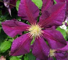 Zhakman's clematis of