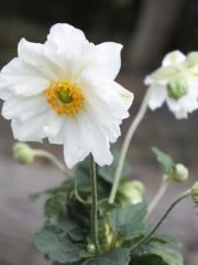 "Anemone hybrid ""Whirlwind"" of"