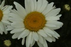 Oxeye daisy the greatest