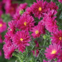 "Aster new Belgian (virginsky) ""Royal"