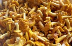 The chanterelles frozen by wholesale and to