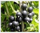 Blackcurrant saplings in cartridges, pots and with