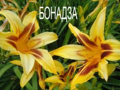 "Day lily hybrid ""Bonanza 54"""