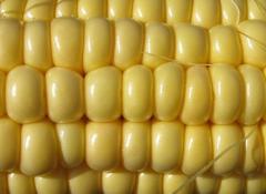 Продажа кукурузы фуражной