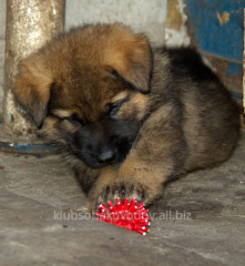 Puppies of German shepherds
