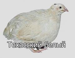 Инкубационные яйца  перепела породы Техасский белый  (бройлер).