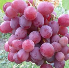 Sadzhants_ to grapes Anyuta. Saplings of grapes of