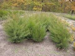 Ornamental shrubs, trees decorative sale,