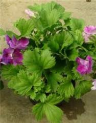 Ornamental plants for gardening, plants pottery,