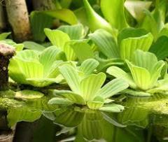 Растения для водоемов продажа, опт Украина