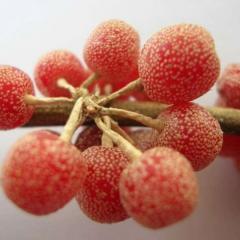 Shepherdia canadensis Шефердія канадська,C10
