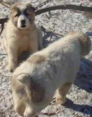 Puppies of the Central Asian sheep-dog. Dogs. Age