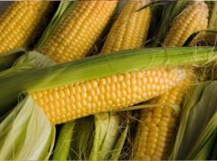 """Sowing material of corn of TM """"Singenta"""
