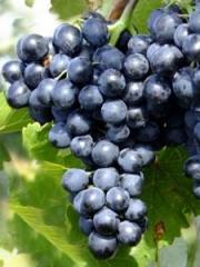 Виноград  Молдова, 15-25 см
