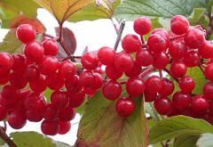 Guelder-rose saplings, sale, consultation,