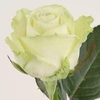 Розы Аваланч